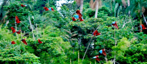 Macaws in the rainforest. Photo: Billtacular