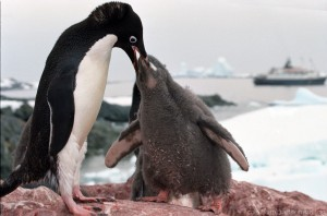 Krill shortages will impact Adélie penguins' foraging and reproductive abilities. Photo: Wikimedia Commons