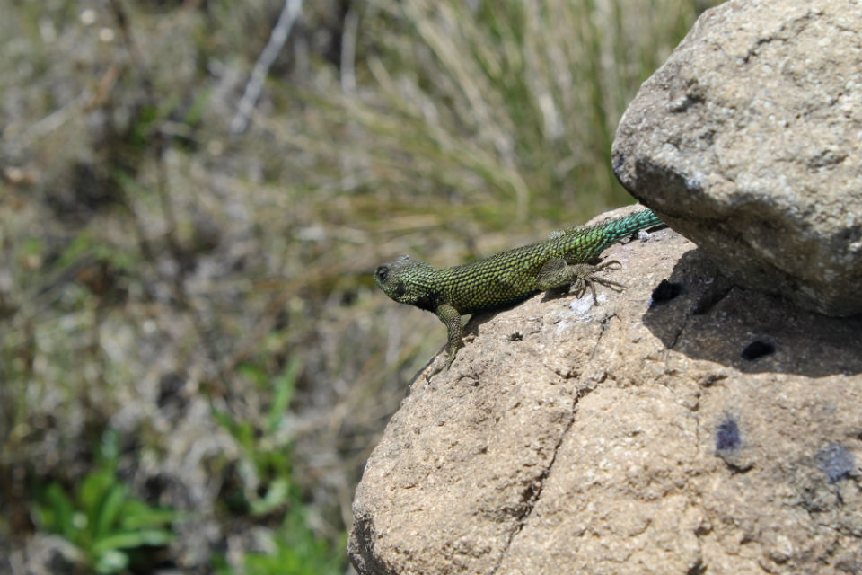 Most of the animals on Chirripó are nocturnal, but when the sun comes out after the daily burst of rain, lizards like this one join the geologists on the rocks.