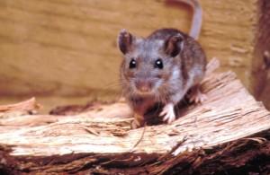The deer mouse, a hantavirus carrier