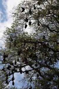 Fruit bats in Madagascar. Photo: j-fi