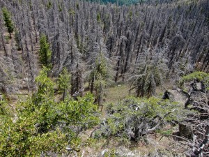 Pine beetle damage. Photo: ex_magician