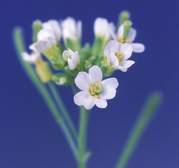 Arabidopsis thaliana. Photo: Penn State