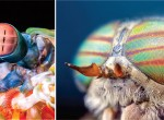 "The eyes of crustaceans like mantis shrimp (left) and insects like horseflies (right) may have a common origin in the ancestral group ""Pancrustacea.""  Photo: Science Magazine, O_LUKYANOV/ISTOCKPHOTO.COM"