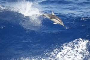 Two hundred miles from Astoria, the ship was joined by a pod of dolphins. As they played in the ship's wake, surrounded by the vast sea, it was possible to imagine a chapter in earth's past coming into view. (Gene Henry)