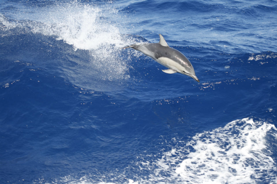 dolphin 960