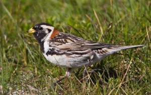 Lapland longspur. Photo: OmarRunolfsson