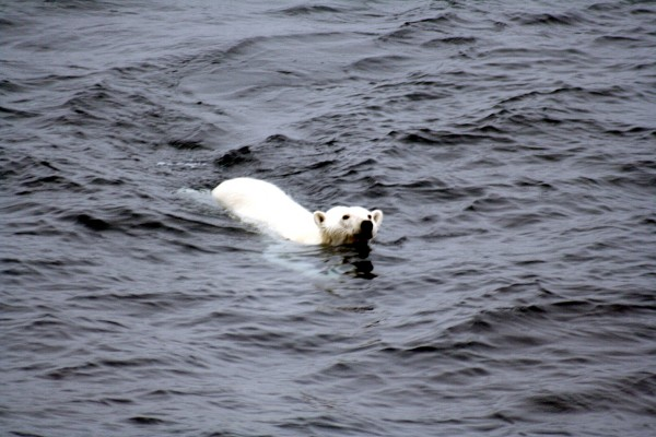 Polarbearswimming