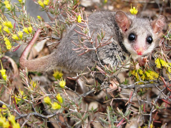 The mountain pygmy possum. how climate change affects animals plants