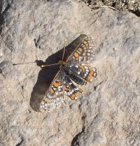 The Quino checkerspot