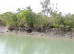 Overhanging rooks and slumps reveal the much larger amount of erosion and land loss in the Indian Sundarban
