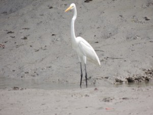 An egret stands tall at the bank of a channel