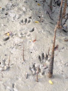 Tiger pugmarks (footprints) in the tidal channel.  Our guide estimated 5-6 hours old.