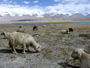 Sheep grazing in Xinjiang, China. Photo: Colegota