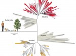 This schematic of the tree of life details the novel phylogenetic placement of newly discovered bacterial groups.