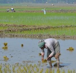rice planting Faripur Bangladesh DF 2015 crop