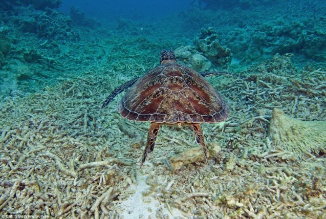 A sea turtle swims over part of the Great Barrier Reef that was damaged by Cyclone Ita in 2014. Photo: Catlin Seaview Survey