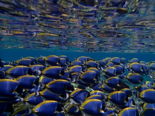 A school of fish swim on a reef in the Maldives. Photo: Ed Ralph/Flickr.