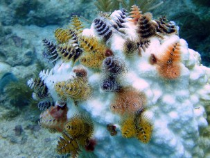 Christmas Tree Worms on bleached coral in Key Largo, Florida. Photo: Matt Kieffer/Flickr.