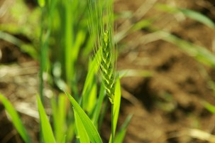 Wheat is the primary food crop planted during winter in many Indian regions. It is known to be negatively affected by rising winter temperature. Photo: Pinki Mondal