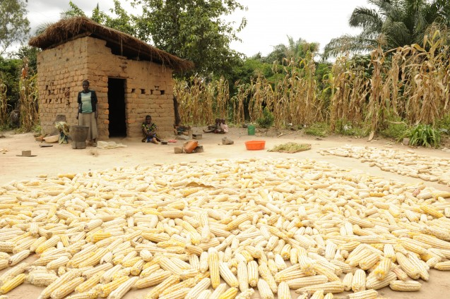 HIgh-yield cereal crops  have greatly expanded food supplies and reduced hunger, but they can be relatively low in essential nutrients. Here, a maize harvest in Tanzania. (Photo: Kyu Lee/Millennium Promise)
