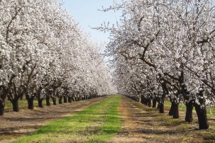 Almond grove in Stanislau, CA. Photo: Tom Hilton