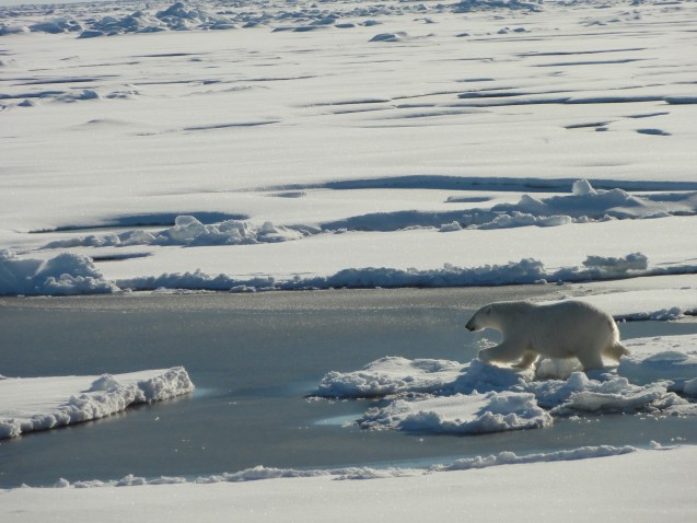Polar Bear moving easily across the ice. (photo credit Tim Kenna)