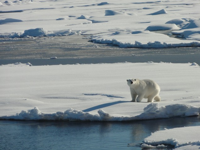 Polar Bear takes measure of the Healy. (Photo credit Tim Kenna)