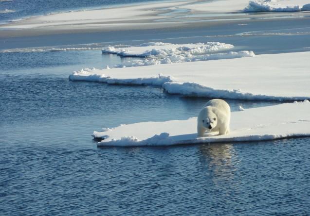 Polar Bear takes a drink (Photo credit Tim Kenna)