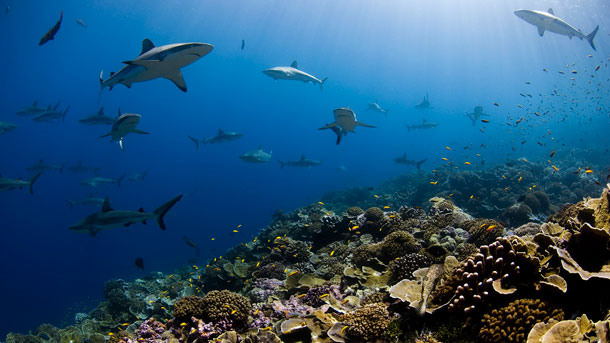 Sharks swim over a pristine reef at Millennium Atoll in the southern Line Islands, Kiribati. Photo: Enric Sala.