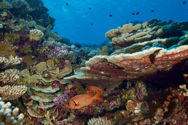 Soldierfish on a healthy reef in French Polynesia. Photo: Michele Westmoorland.