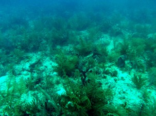 This is what most Florida coral reefs look like today—overgrown with soft corals and algae rather than large, stony corals characteristic of a healthy reef Florida Fish and Wildlife Conservation Commission