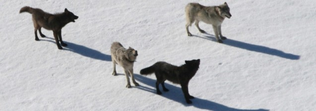Wolves at Yellowstone National Park. Photo: National Park Service