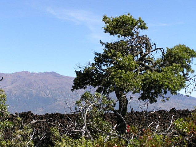 Scientists documented the first annual tree rings in a native species on Hawai'i in māmane found on the slopes of Mauna Kea. Photo: Scot Nelson/CC-BY-SA-2.0