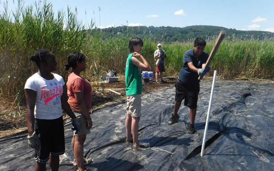 The floor of the marsh is a thick mat of roots. Marc Jimenez pounds in a stake to anchor the covering, with (right to left) Bing Liang, Julissa Nunez and Shanon Dempster. It takes about two years for phragmites to die and native species, such as spartina and hibiscus, to begin to grow.