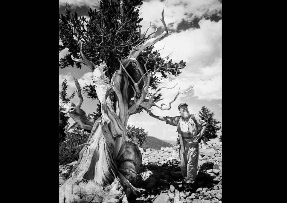 Ed Cook and the Bristlecone Pine