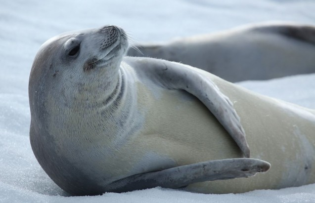 Crabeater Seal in Antarctica. Liam Quinn, Flickr.