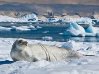A Crabeater seal in the South Shetland Islands, Antarctica. Photo: ravas51, Flickr.