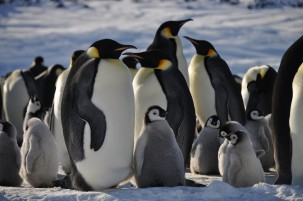 Emperor penguins, Dominique Genin flickr