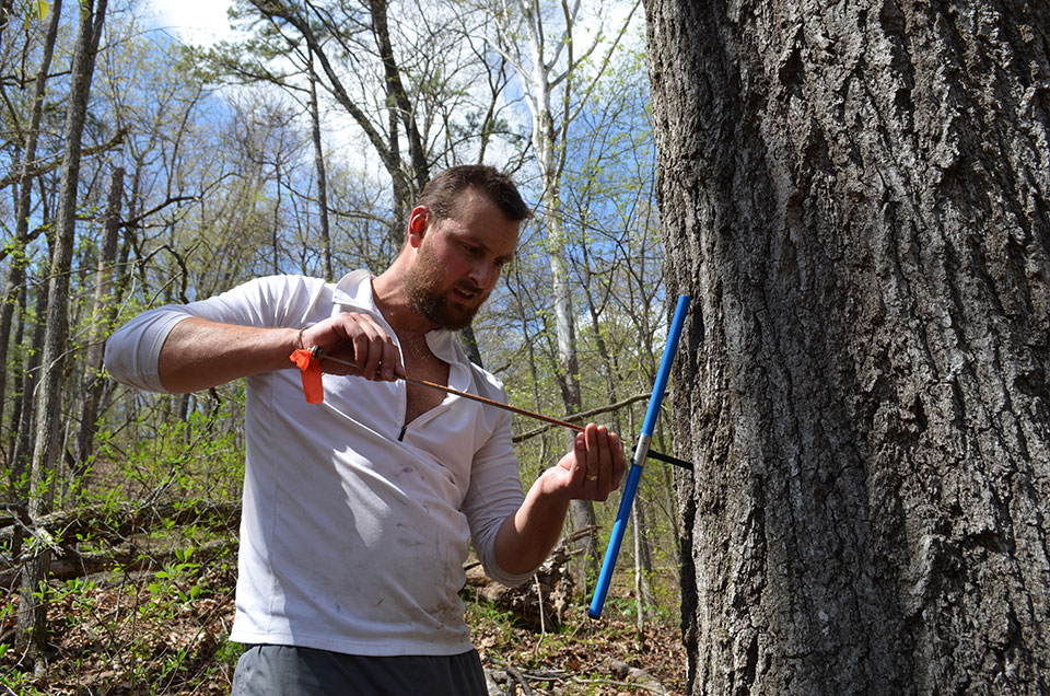 Williams extracts a core from a massive red oak. Specimens up to 400 years old can be found in isolated spots, but it is the last 80-some years the scientists are mainly after. Those are the years covered by modern instrumental record, and the rings can be closely correlated with those to paint a picture of how trees have fared under known conditions year to year. This will allow the team to project how they are likely to react under future scenarios.