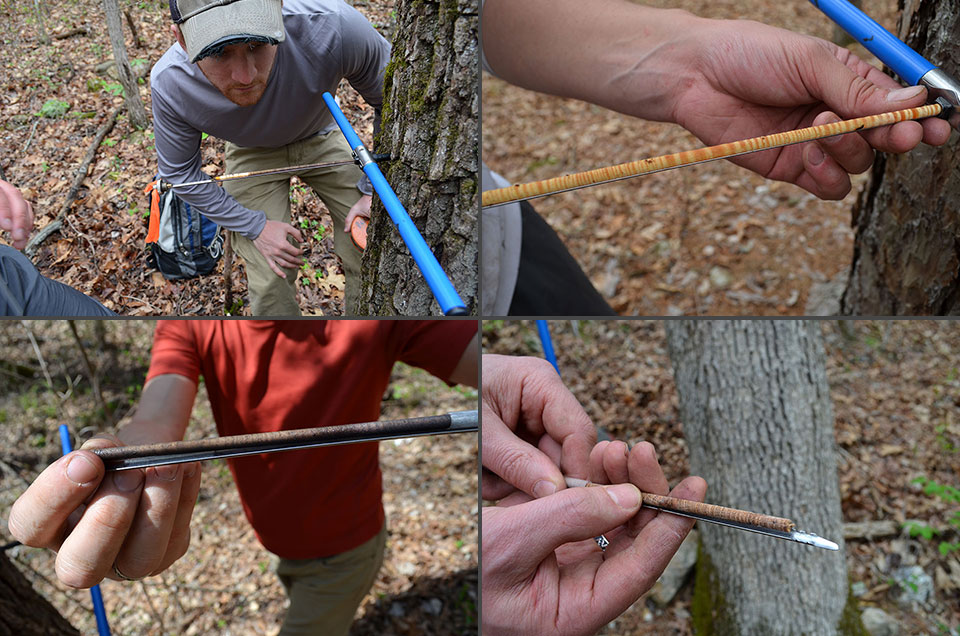 Different species have different ways of coping with changing weather; if the climate heats up as expected, some may do better in the long term, while others will do worse. Clockwise from upper left: Harvard Forest technician Daniel Bishop inspects a fresh core; a shortleaf pine core shows characteristic thick rings of this fast-growing timber species; a sample of slower-growing white oak; fragrant black walnut, a slow-growing, long-lived tree that can reach behemoth size and become fantastically valuable.