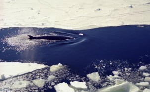 A Minke whale breaches off the icy shores of Antarctica. Photo: Christine Veeschkens, Flickr.