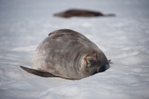 Sleeping Weddell Seals. Photo: Oliver dodd, Flickr.