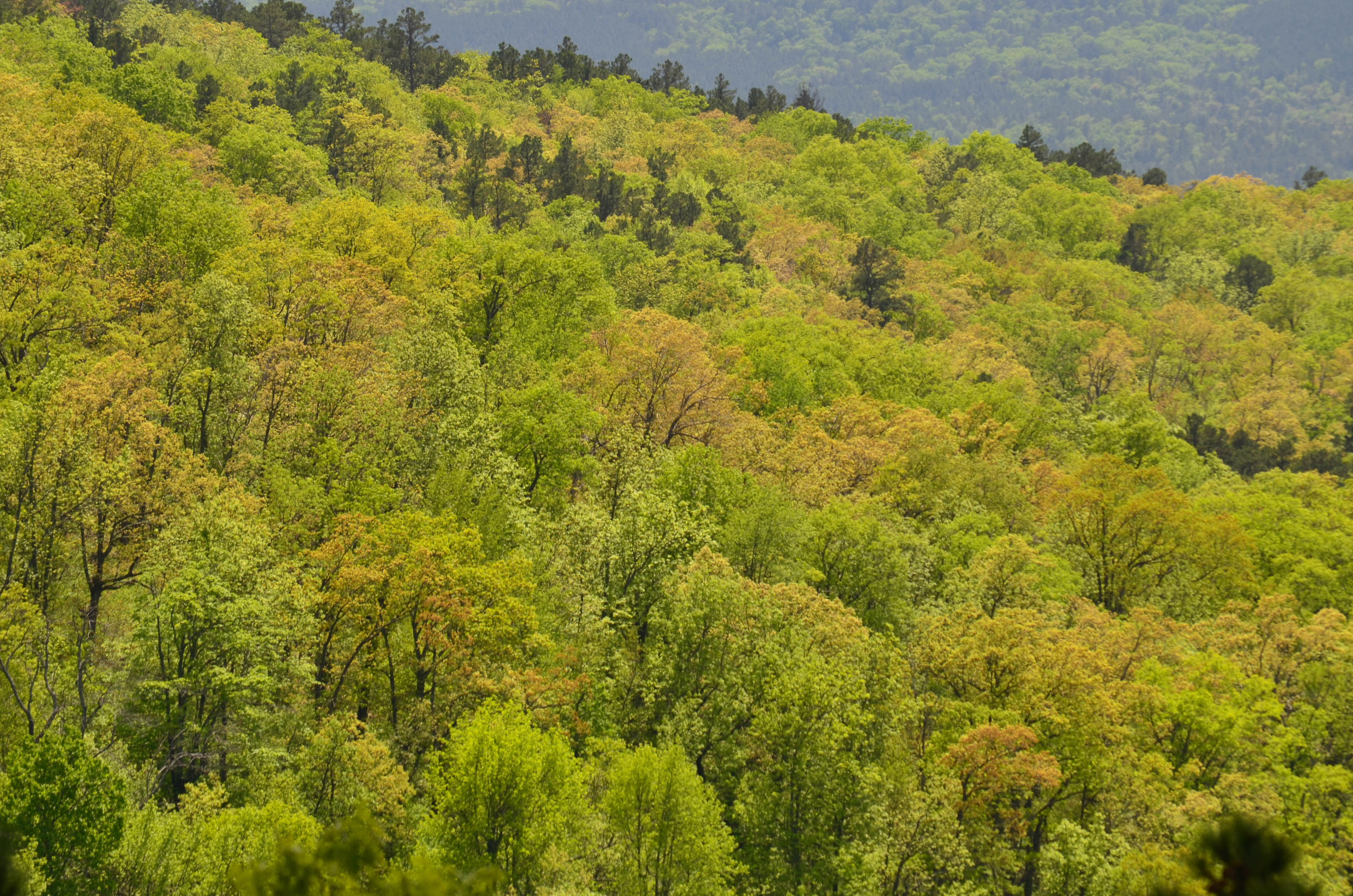 Forests in Arkansas' Ozark mountains tend to be a mixture of deciduous and conifer trees. Species compositions could change in the future.