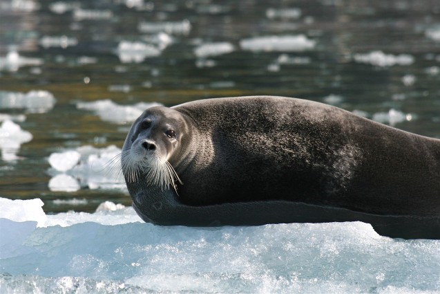 A bearded seal floating on sea ice in the Alaskan Arctic. Photo: Martha de Jong-Lantink,