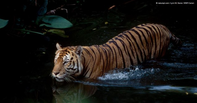 Caption info from WWF: One of the world's largest tiger populations is found in the Sundarbans—a large mangrove forest area shared by India and Bangladesh on the northern coast of the Indian Ocean. Rising sea levels caused by climate change threaten to wipe out these forests and the last remaining habitat of this tiger population. Photo: © naturepl.com / Lynn M. Stone / WWF-Canon