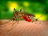 Aedes aegypti. Photo: Centers for Disease Control
