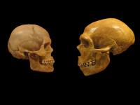 A human skull on the left, versus a Neanderthal skull on the right. Photo via Wiki Commons.