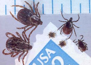 Dog ticks (left) and black legged or deer ticks (right). The latter spread Lyme disease in the eastern United States. Climate variability can influence the spread of Lyme and other vector-borne diseases. Photo: Jim Occi