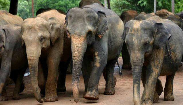 Asian elephants, like these in Sri Lanka, are sensitive to temperature. A new study finds plant and animal populations would have to migrate farther to maintain their current average temperature in awarming world. Photo: Amila Tennakoon, CC-BY-2.0
